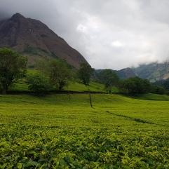 Tee-Plantagen und ein Blick auf Mulanje