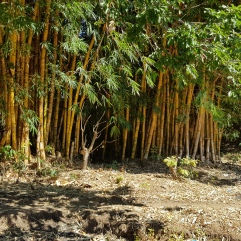 Riesenbambus bei Mua