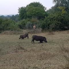 Warzenschweine in Majete